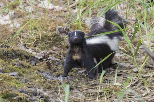 A skunk walking with its tail raised.