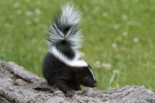 The Skunk and its Famous Stink