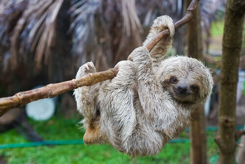 Curiosities About Sloths
