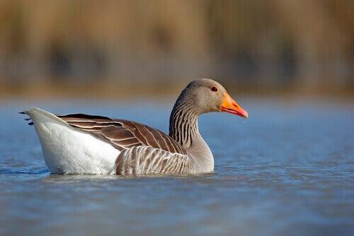 5 Species of Geese