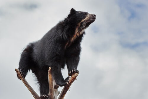 A spectacled bear on a branch.