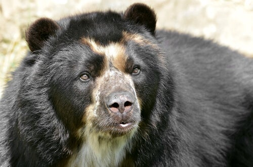 All About the Curious Spectacled Bear