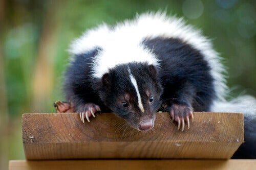 The striped skunk.