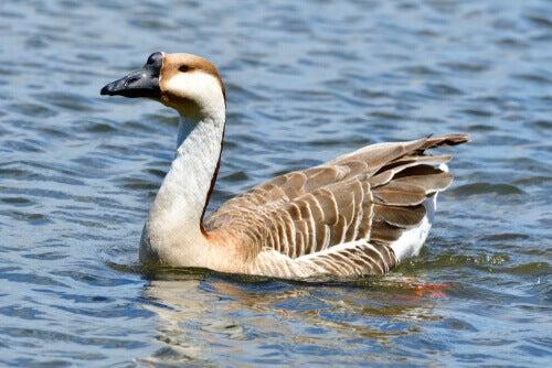 Species of goose: a swan goose.