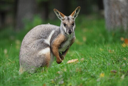 The Wallaby: Discover this Amazing Marsupial