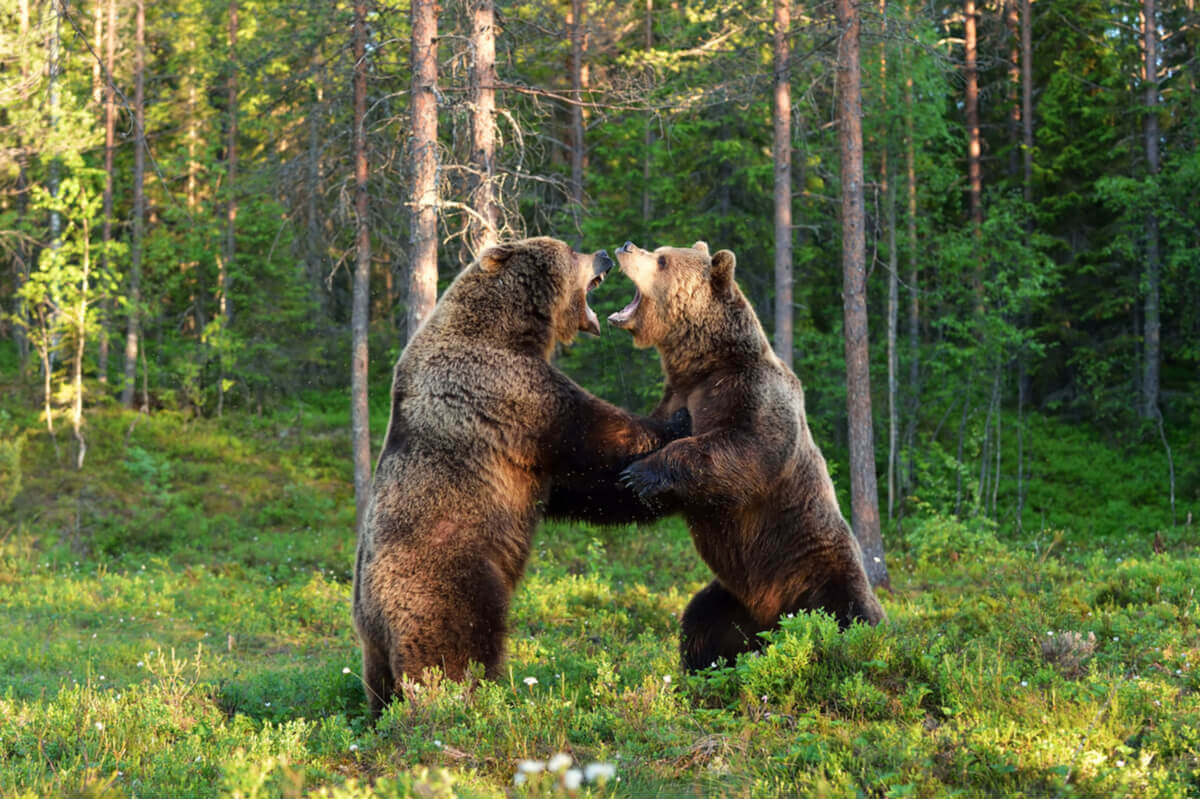 Two bears fighting.