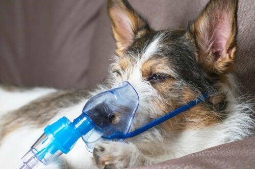 A dog on a respirator.