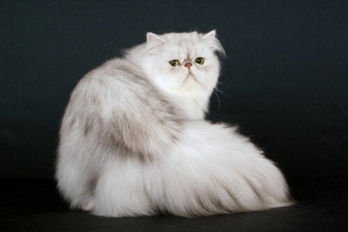 What's the Origin of the Persian Cat?