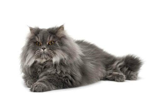 A gray Persian cat.