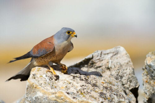 Lesser Kestrel, the Smallest of the Falcons