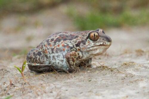 A meditating spadefoot toad.