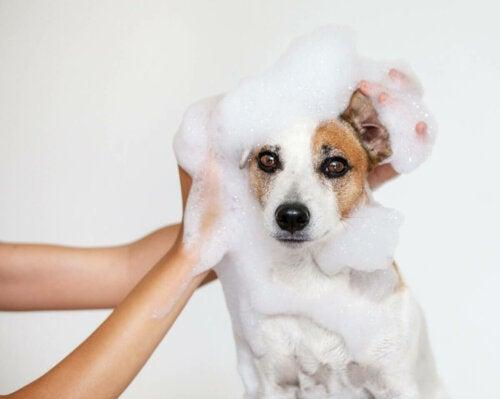 A person bathing a dog.