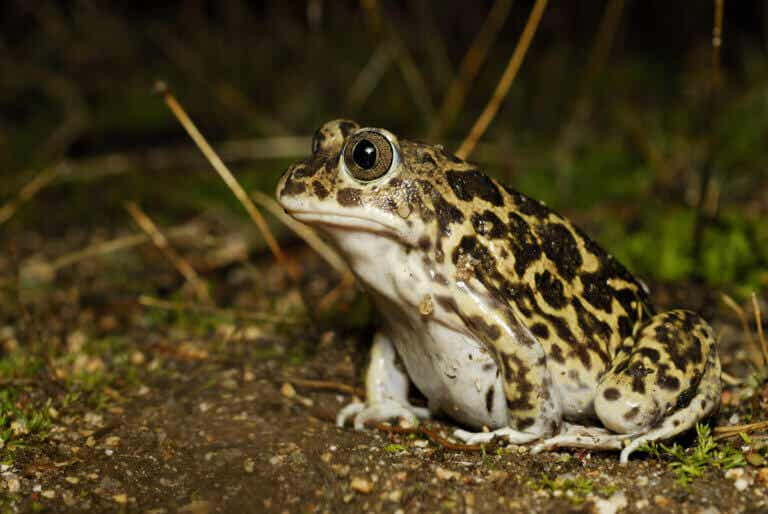 Characteristics of the Wagler's Spadefoot Toad