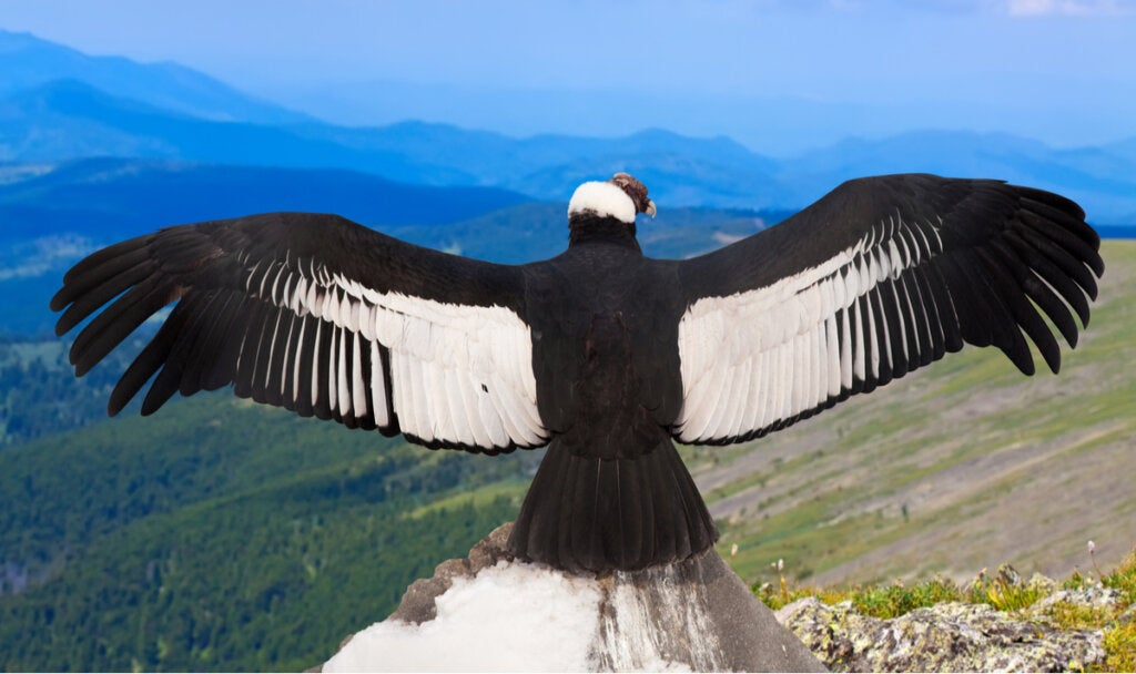 Argentavis Magnificens: The Largest Bird in the World