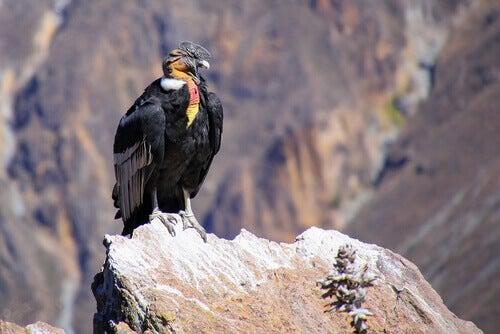 Condor: characteristics.