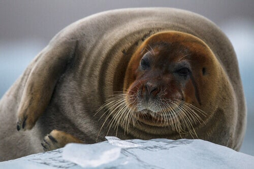 A bearded seal lying on the ice.
