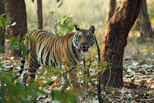 A bengal tiger walking among trees.