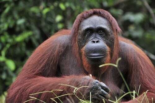 A Bornean orangutan.