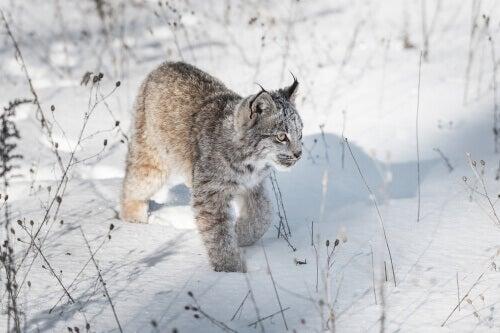 A Canada lynx walking in the snow.