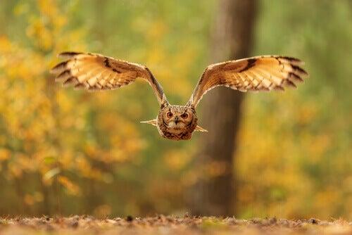 An owl in flight.