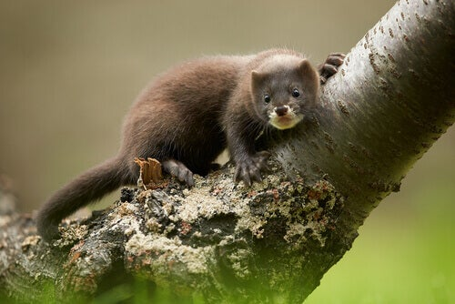 The European mink.