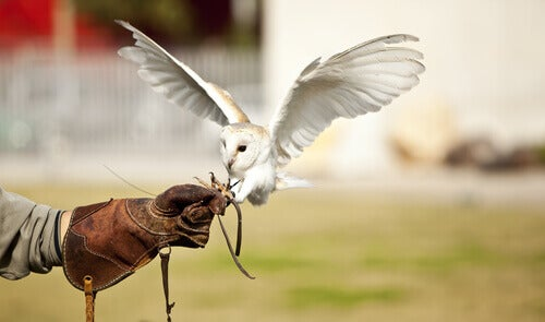 An owl hunting from a trainers gloved hand.