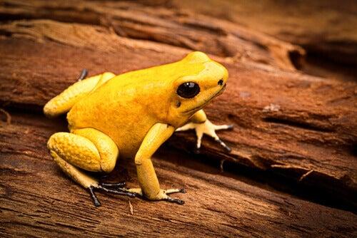 A golden dart frog.