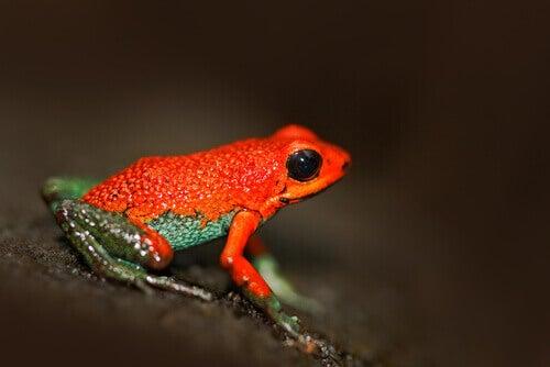 A granular poison frog.