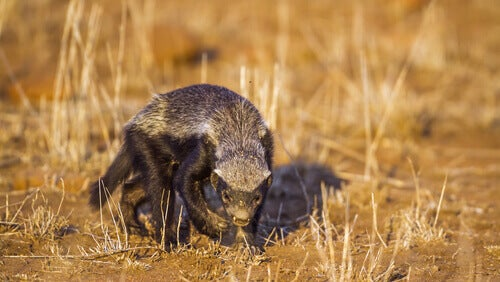 A honey badger in a brown field.