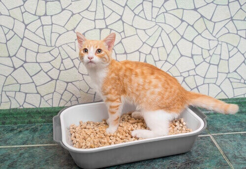 An orange and white cat using the litter box.