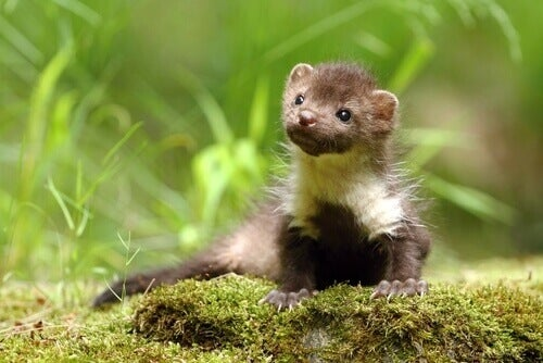 A small brown and white marten.