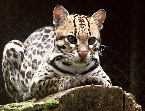 The ocelot is an indigenous feline in South America.
