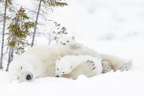 A mother polar bear lying in the snow with her two cubs.