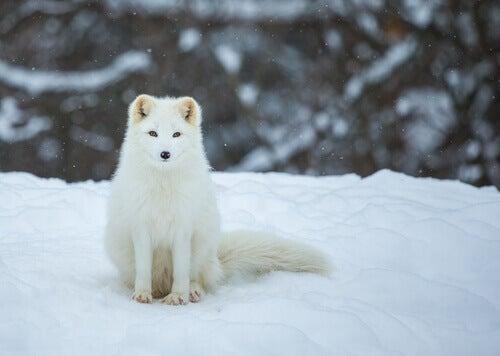 A polar fox in the snow.