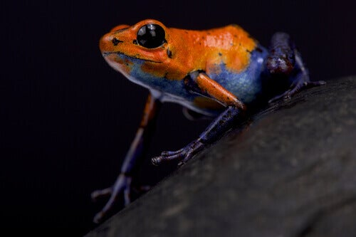A strawberry poison frog.