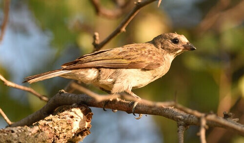 A honeyguide perched on a branch.
