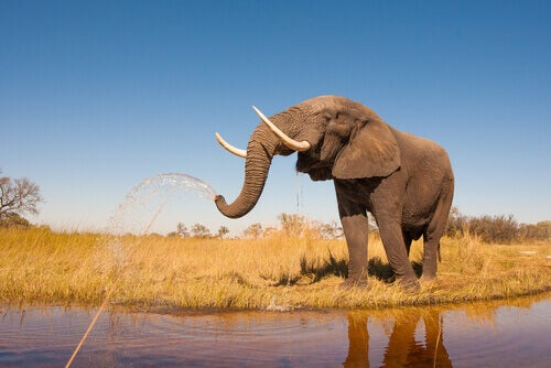 An elephant spraying water from its trunk.