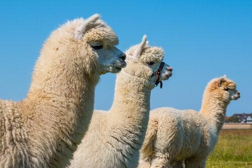Three alpacas in a field.