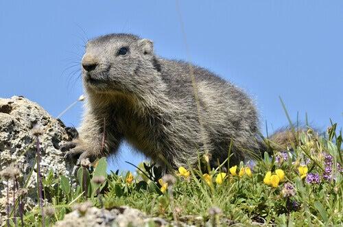 An alpine marmot among the grass.