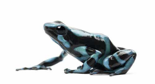 The Poison Dart Frog, the Most Poisonous Frog in the World