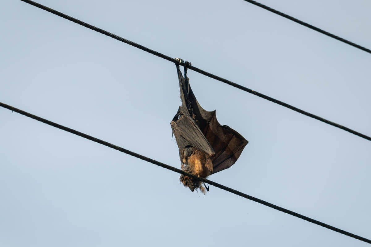 A bat hanging on a power line: a clear example of an ecological trap.