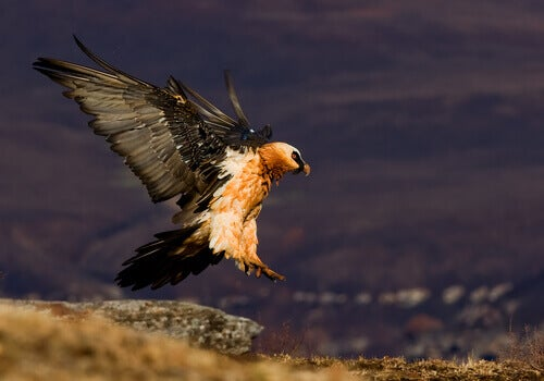 A bearded vulture coming in to land.