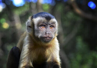 Curiosities About the Black-Capped Capuchin
