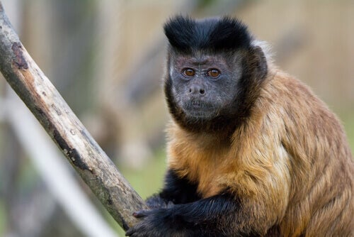 Black-capped capuchin isn't yet endangered.
