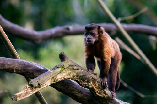 The black-capped capuchin knows how to use tools.