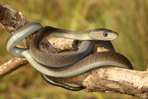 A curled up black mamba.