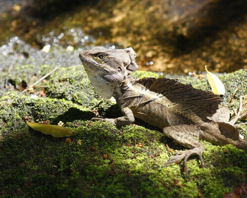 Black spiny-tailed iguana: one of the reptile species that inhabit Corcovado National Park.