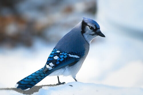 A blue jay in the snow.