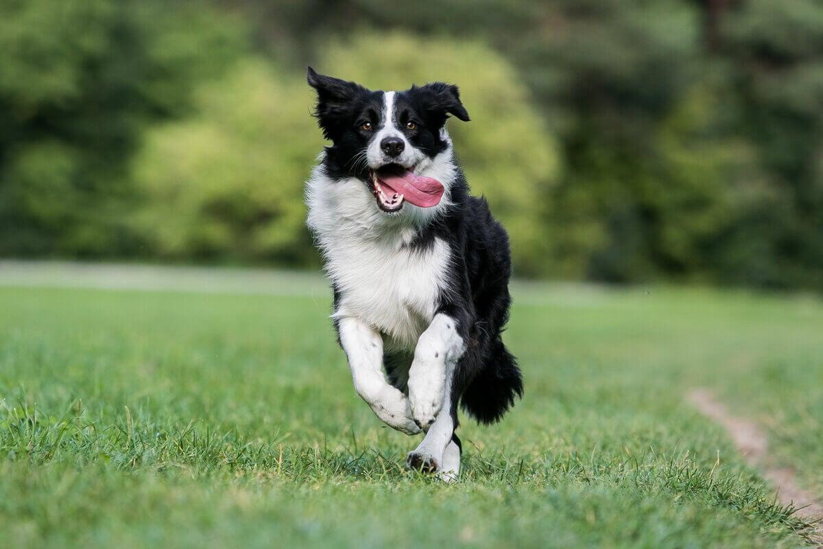 Border Collie running.