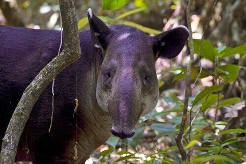 Baird's tapir or Central American tapir looking at the camera.